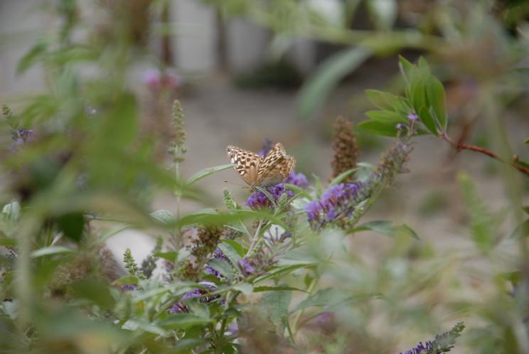 kaisermantel an einem Schmetterlingsstrauch